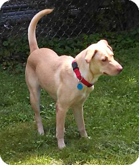 Golden Retriever/Labrador Retriever Mix Dog for adoption in Cheshire, Connecticut - Ciara