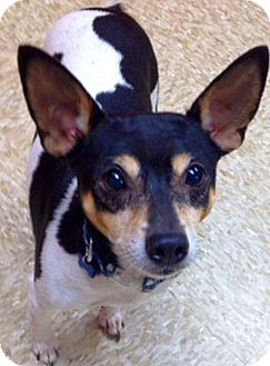 Rat Terrier Mix Dog for adoption in Green Bay, Wisconsin - Harold