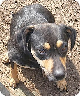 Shepherd (Unknown Type)/Beagle Mix Dog for adoption in Ringoes, New Jersey - Brandy