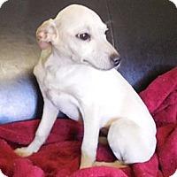 Adopt A Pet :: Snow - Brattleboro, VT