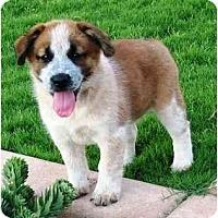 Adopt A Pet :: Chili - Phoenix, AZ