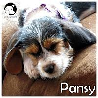 Adopt A Pet :: Pansy - Novi, MI