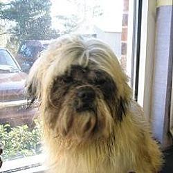 Photo 1 - Shih Tzu Dog for adoption in Rock Hill, South Carolina - Ewok