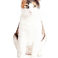 Calico Cat for adoption in Tempe, Arizona - Daiquiri
