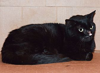 Domestic Shorthair Cat for adoption in Carencro, Louisiana - Bumper