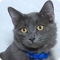 Domestic Mediumhair Cat for adoption in Sacramento, California - Forest L