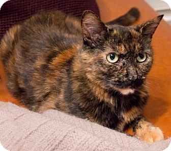 Domestic Shorthair Cat for adoption in Brooklyn, New York - Mina Gorgeous Young Tortie!