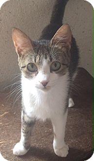 Domestic Shorthair Cat for adoption in McKinney, Texas - London