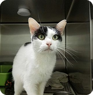 Domestic Shorthair Cat for adoption in Elyria, Ohio - Arty