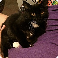 Domestic Shorthair Cat for adoption in Tampa, Florida - Mouse