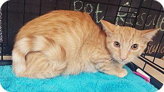 Egyptian Mau Kitten for adoption in Cerritos, California - Peanut