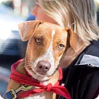 Beagle Mix Dog for adoption in Washington, D.C. - Ruby