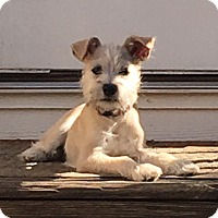 Schnauzer (Standard)/Terrier (Unknown Type, Medium) Mix Puppy for adoption in Rock Hill, South Carolina - Bella