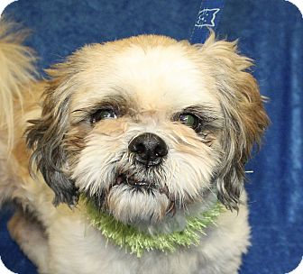 Shih Tzu Mix Dog for adoption in Jackson, Michigan - Kisses