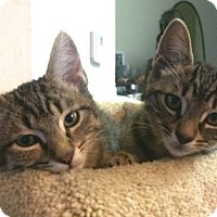Domestic Shorthair Cat for adoption in Los Angeles, California - Catniss and Thor