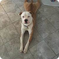 Pit Bull Terrier/Boxer Mix Dog for adoption in Baltimore, Maryland - Ohana (COURTESY POST)