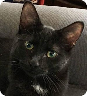 Domestic Shorthair Cat for adoption in Walworth, New York - Willow2