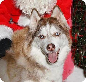 Siberian Husky Mix Dog for adoption in Incline Village, Nevada - Bodhi