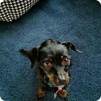 Adopt A Pet :: Lexi - Wylie, TX