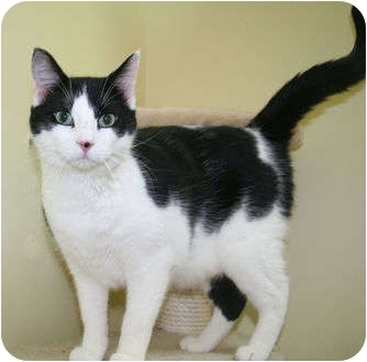 Domestic Shorthair Cat for adoption in Edmonton, Alberta - Zorro