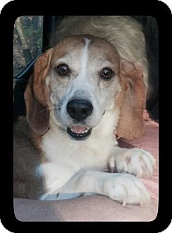 Beagle Dog for adoption in Waldorf, Maryland - Cranberry