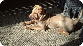 Shar Pei Puppy for adoption in Hilliard, Ohio - Quinn