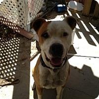 Adopt A Pet :: Pitty - Canoga Park, CA