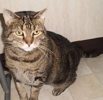 Domestic Shorthair Cat for adoption in Berkeley Springs, West Virginia - Tabitha