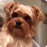 Adopt A Pet :: Trixie - Orlando, FL