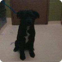 Adopt A Pet :: Sirius - Antioch, IL