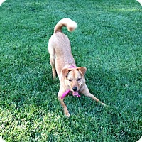 Chow Chow/German Shepherd Dog Mix Dog for adoption in Alexandria, Virginia - Ruby