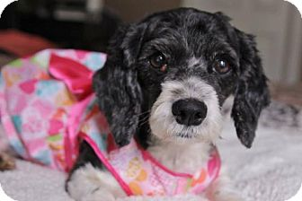 Cocker Spaniel Mix Dog for adoption in Gulfport, Mississippi - Emma Jean  (local only)