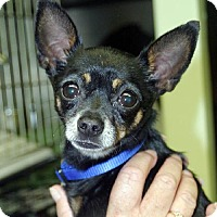 Chihuahua Dog for adoption in Ventura, California - Tammer