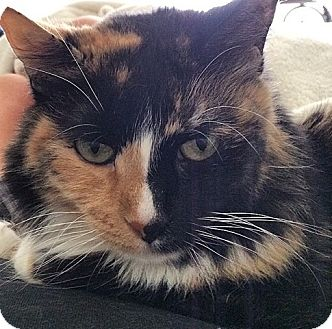 Calico Cat for adoption in Los Angeles, California - Elizabeth