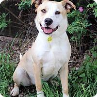 Adopt A Pet :: BRIDGET - Westminster, CO