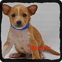 Adopt A Pet :: Boomer - Old Saybrook, CT