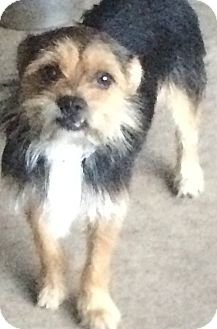 Yorkie, Yorkshire Terrier/Terrier (Unknown Type, Small) Mix Dog for adoption in Kilgore, Texas - Teeter