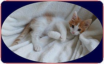 Domestic Shorthair Kitten for adoption in Mt. Prospect, Illinois - Stripes