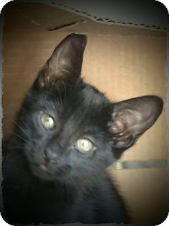 Domestic Shorthair Kitten for adoption in Pueblo West, Colorado - Murdock