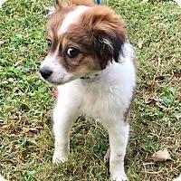 Shih Tzu/Cavalier King Charles Spaniel Mix Puppy for adoption in Oswego, Illinois - Linus