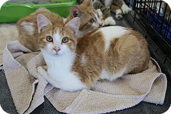 Domestic Shorthair Kitten for adoption in Rochester, Minnesota - Carmel