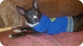 Cattle Dog/Hound (Unknown Type) Mix Puppy for adoption in Cranston, Rhode Island - Julia