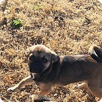 Adopt A Pet :: Peppa - Snyder, TX