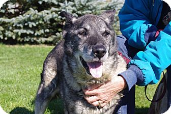 Norwegian Elkhound Dog for adoption in Elyria, Ohio - Sampson