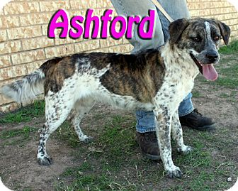 Australian Cattle Dog Mix Dog for adoption in Midland, Texas - Ashford