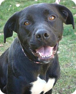 Labrador Retriever Mix Dog for adoption in Red Bluff, California - Tiara