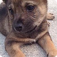 Adopt A Pet :: Stagger - Orlando, FL
