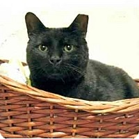 Adopt A Pet :: Blackie - Plainville, MA