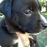 Adopt A Pet :: Gambit - Orlando, FL