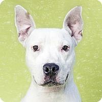 Adopt A Pet :: Margarita - Brooklyn, NY
